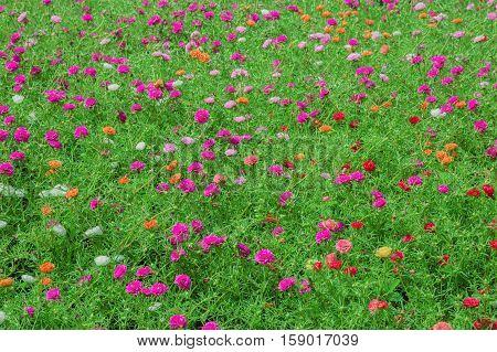 Purple Portulaca oleracea flower grandiflora in a garden