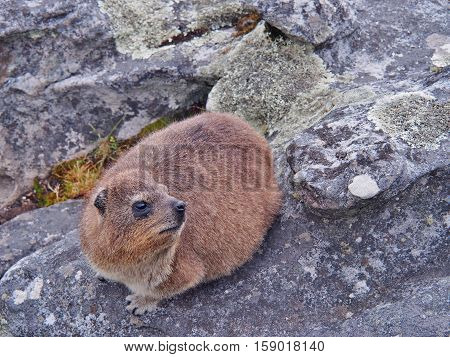 rock hyrax or dassie on the rock on Table Mountain in Cape Town, South Africa. Selective Focus.