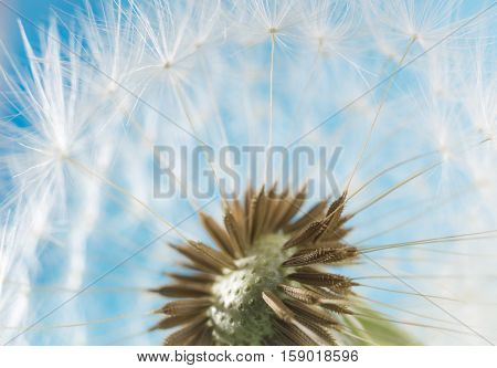 Dandelion abstract blurred background. White blowball over blue sky. Shallow depth of field.