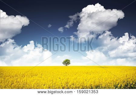 Tree at canola field. landscape, lonely tree