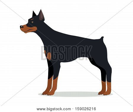 Doberman Pinscher, Dobermann, Doberman isolated on white. Dog of medium-large size with square build and short coat. Home pet. Popular compactly built and athletic breed. Series of puppies. Vector