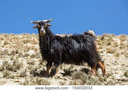 Domestic goat in mountain area in Nepal.