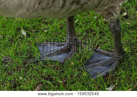Close-up of the Feet of a Canada Goose.