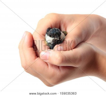 The tit Parus major in the children hand isolated on white background