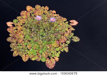 Still pond water with flower garden of lily pads and bright purple flowers.