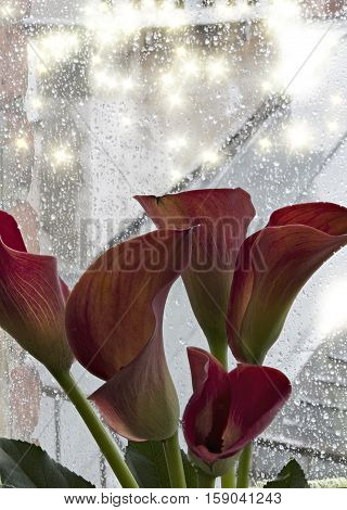 red calla lilies against the window followed by the rain