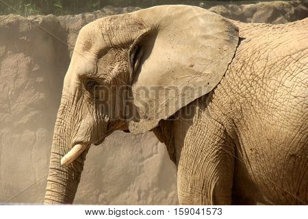 Large elephant standing still, with dust blowing all around his head from his cumbersome gait.