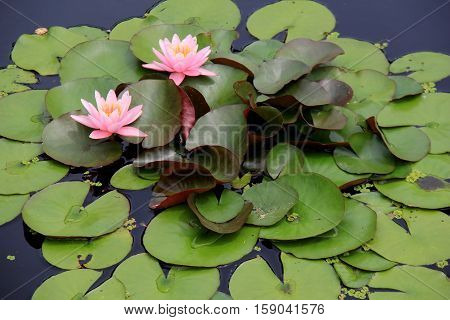 Gorgeous bright pink water lilies tucked into lush green leaves of pond's garden.