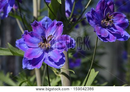 Blue delphinium flowers on a summer morning in the sunshine