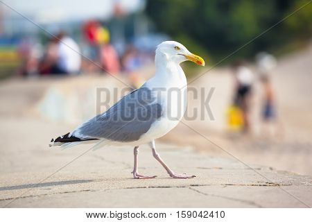 Huge seagull walking on stone wall in summer near (defocused) people looking for relaxation at beach area