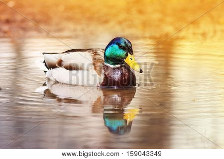 bright beautiful duck floating on the water bathed in Golden light of the sun