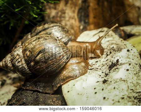 Two cone shell snail snails with spiral shells crawling on the ground. Close-up selected focus