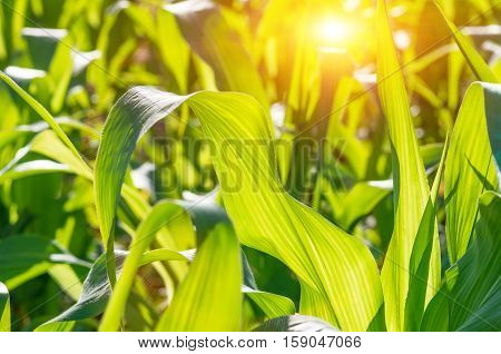 Green juicy leaves of young corn in the field closeup. Agricultural background