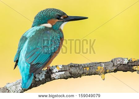 Kingfisher bird preening on a branch with a yellow background