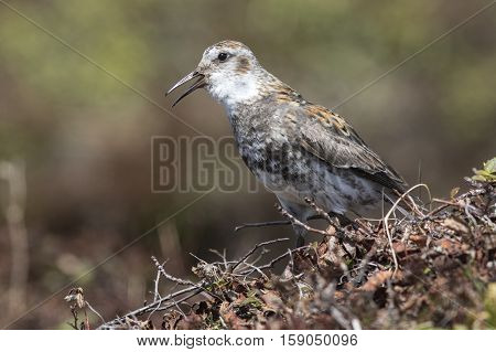 Rock sandpiper which sits on a hummock in the tundra and sings
