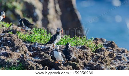 Atlantic puffin (Fratercula arctica) going about their business, making nests and new puffins as they return in summer to mate on one of the bird islands in Elliston, Newfoundland.