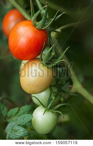 Multicolored tomatoes ripening on vine in garden