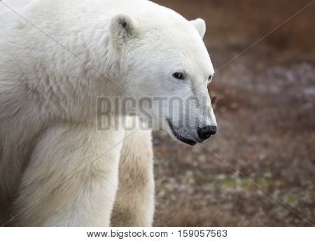 Close up head and shoulders image of an adult polar bear with a mischievous look in his eye.  Churchill, Manitoba, Canada.