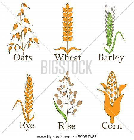 Cereals vector icons. rice, wheat, corn, oats rye and barley Vector illustration