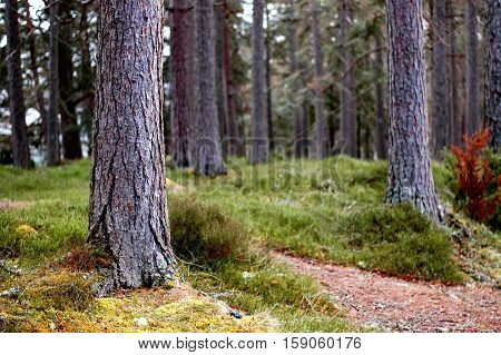 Scot's Pine forest- peering through the young trunks