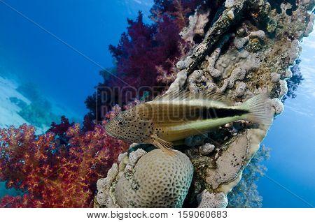Forster's hawkfish, Paracirrhites forsteri, on Yolanda Wreck, Ras Mohammed, Sinai, Red Sea, Egypt. poster
