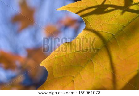 Close up of a gold-colored leaf during the Fall season.