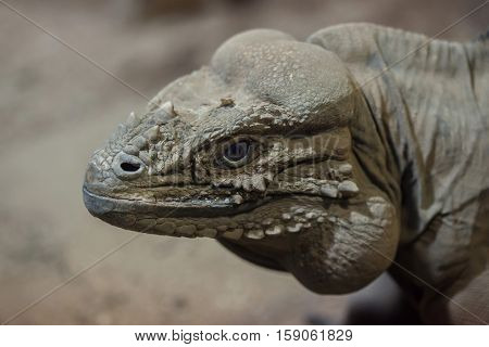 Rhinoceros iguana (Cyclura cornuta), also known as the Goliath dragon.