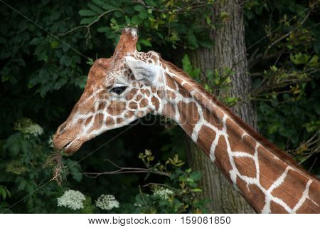 Reticulated giraffe (Giraffa camelopardalis reticulata), also known as the Somali giraffe.
