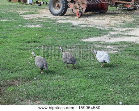 Guinea Fowl On The Green Grass. Guinea Fowl - Poultry In The Village Courtyard