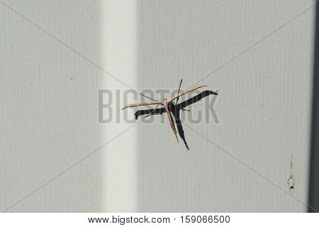 Butterfly Pterophoridae On A White Fence. Unusual Creation. Lepidopteran Insects