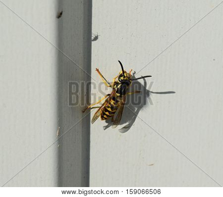 Wasp Sitting On A White Sheet Of Iron. Wasp Basking In The Sun