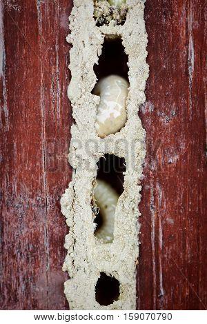 Wood worm nest close up macro larvae maggots damaged furniture