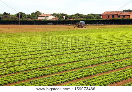 Agriculture Huge Field Of Green Lettuce