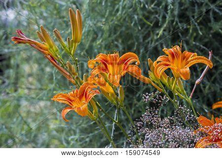 Red day-Lily ( lat. Hemerocallis fulva ). Flowers closeup