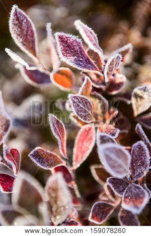 Frost ice crystals on many blueberry leaves on bush