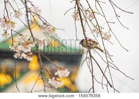 sparrow bird on the cheery blossom tree