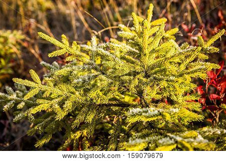 Frost on yellow coniferous pine tree in morning sunlight