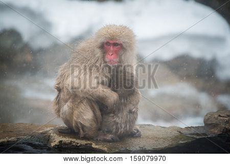 Monkey mother and baby Jigokudani Nagano Japan