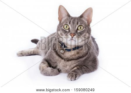 Tabby cat laying down and looking at camera isolated on white