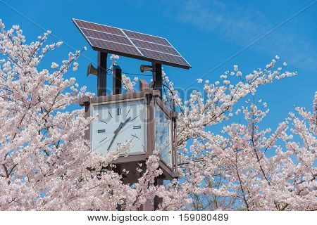 clock ant pink sakura in japan .