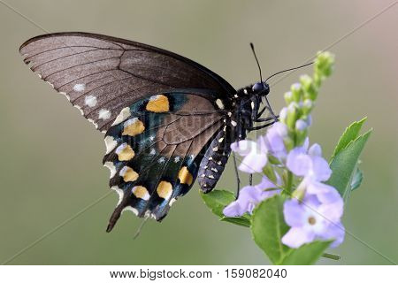 A Pipevine Swallowtail butterfly (Battus philenor) on pink flowers