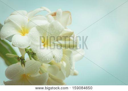 White Frangipani Tropical Flower, Plumeria Flower Blooming On Tree, Spa Flower , Vintage