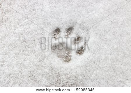 cat footprint on snow background close up