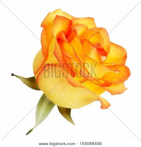 Bud fresh yellow roses on a white background
