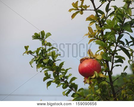 Single red pomegranate fruit on the tree in leaves against the blue sky