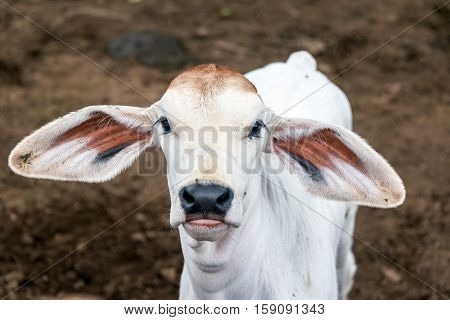 Young Calf With Big Ears
