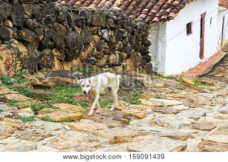 Dog In Guane, Colombia