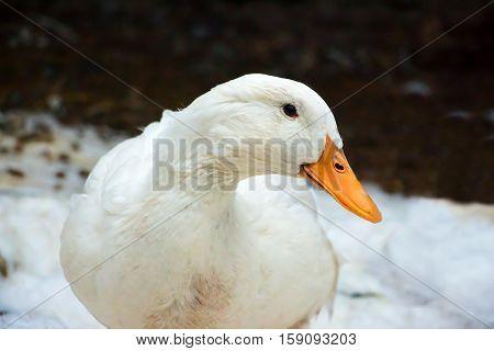 Real Pekin duck. A popular domesticated breed.