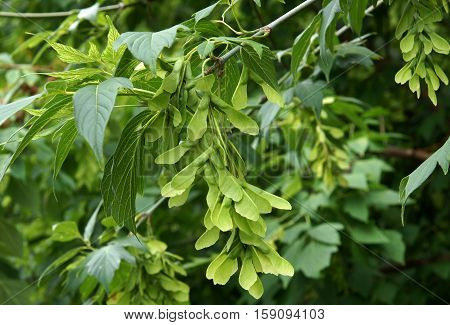 Leaves and fruits of Acer commonly known as maple