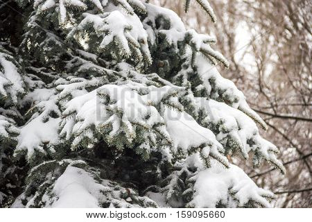 close-up fir tree under the snow in winter